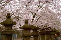 the branches of cherry trees